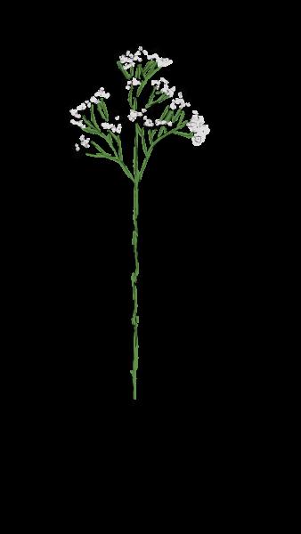 Valentine-Schleierkraut