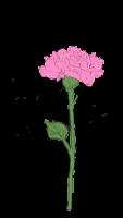 Valentine-Nelken