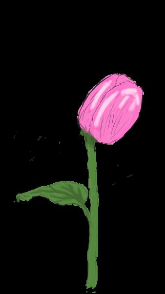 Valentine Tulpe