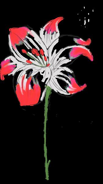 Valentine Lillies
